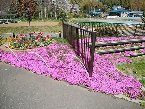 砂田川菅田町の花壇の芝桜