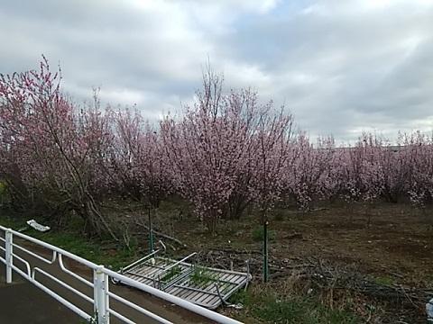 高田町の桃畑