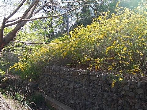 トンモリ谷戸の山吹