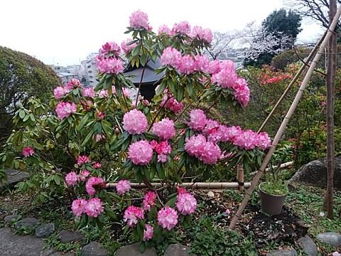 等覺院の石楠花