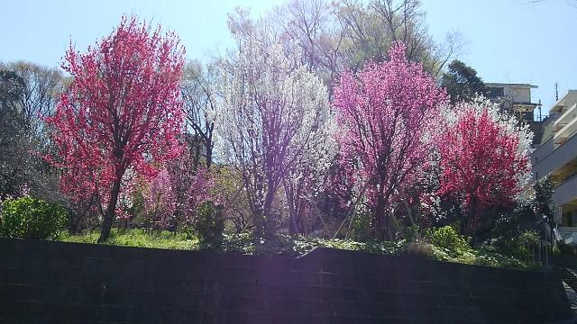 綱島市民の森桃畑