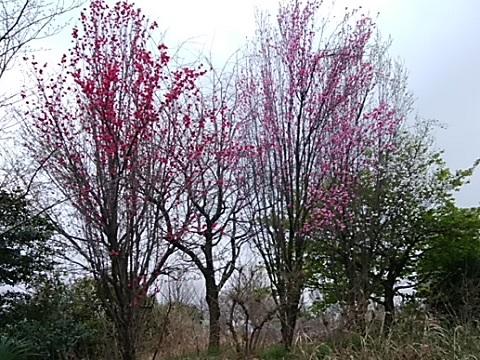 片倉うさぎ山公園の桃