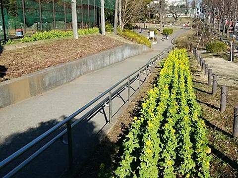 美しが丘公園の菜の花2020