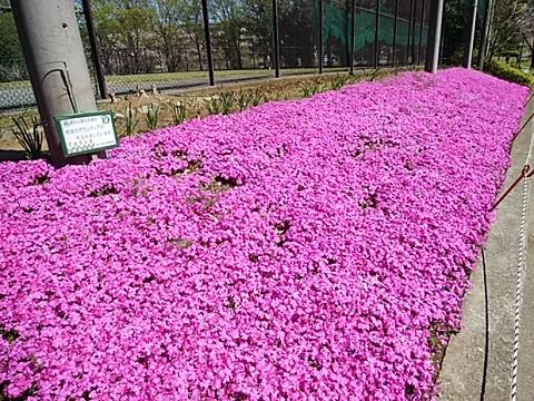 美しが丘公園芝桜
