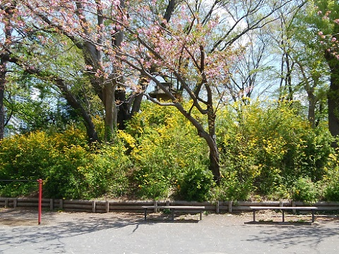 夢見が崎公園の山吹