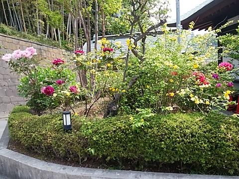 増福寺の山吹