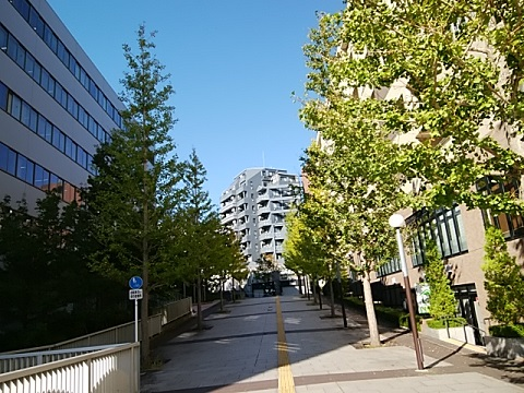 都筑区横浜貯金事務センター前イチョウ