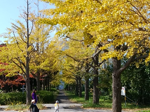 富士見公園前のイチョウ並木