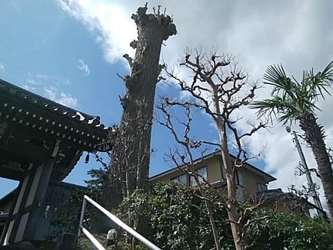 麻生区香林寺イチョウ
