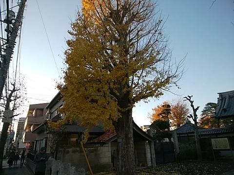 泉澤寺イチョウ