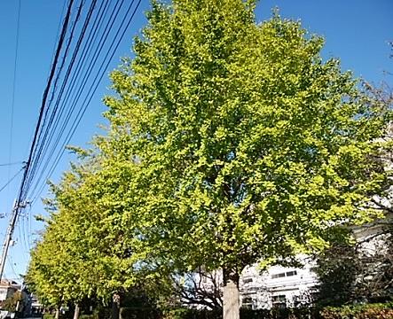 二ヶ領本川のイチョウ並木