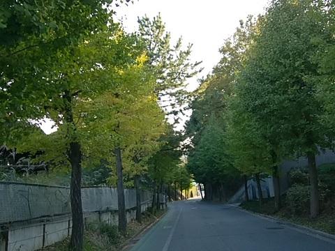 桐蔭学院のイチョウ並木