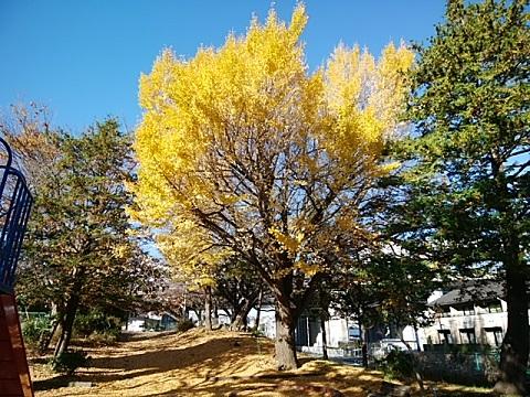 東名土橋公園イチョウ