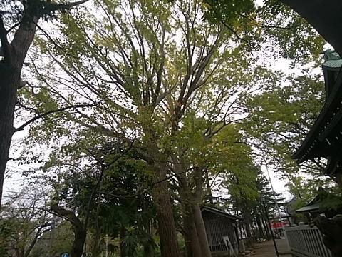 小杉神社イチョウ