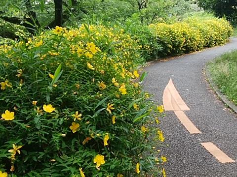 三ッ沢公園公園の金糸梅