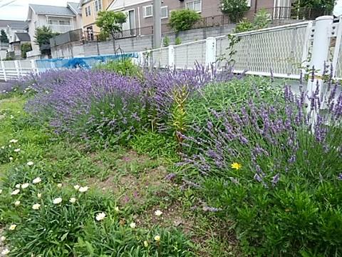 老馬谷戸ガーデンラベンダー