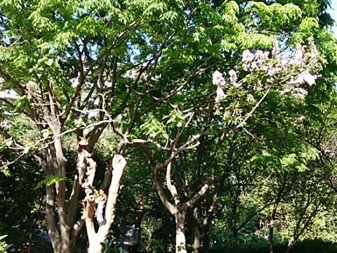 都筑民家園の桐の花