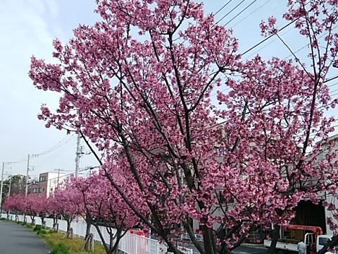 芦穂橋オカメ桜