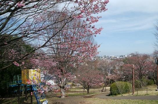 豊顕寺市民の森横浜緋桜