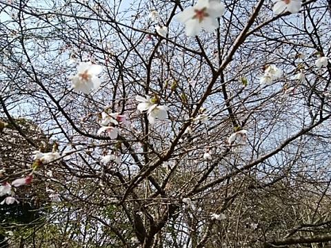 都筑中央公園豆桜