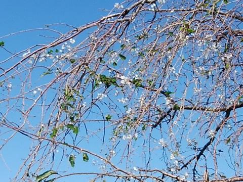千年の民家の枝垂れ桜狂い咲