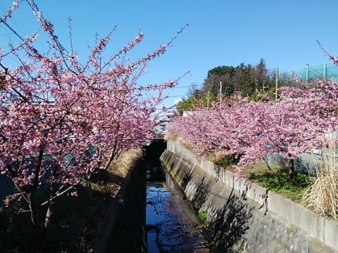 平瀬川上流の河津桜