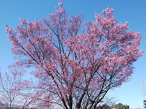 川和ゴルフのオカメ桜2020