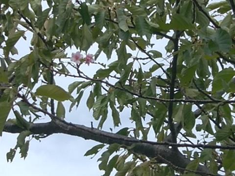 等々力土手河津狂い咲桜