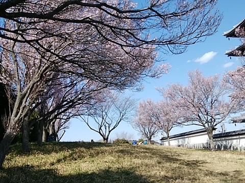 香林寺小彼岸桜