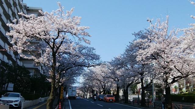 宮崎台駅前桜並木