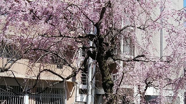二ヶ領用水枝垂れ桜