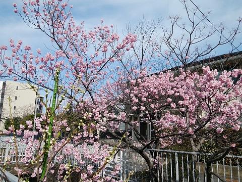 二ヶ領用水椿寒桜