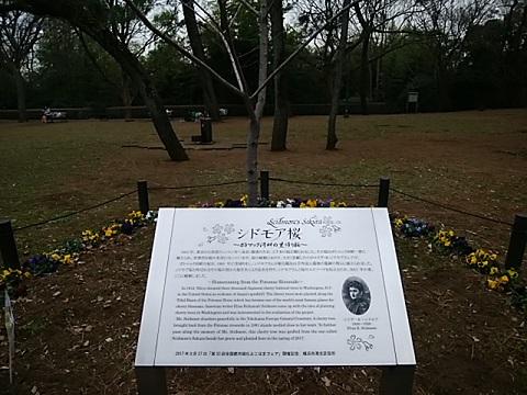 大倉山公園シドモア桜