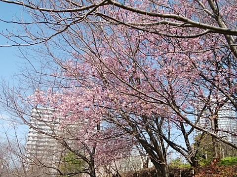 さいわいふるさと公園河津桜