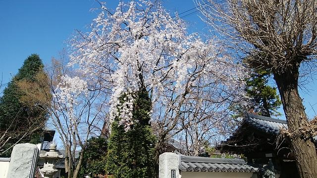 西蔵寺の枝垂れ桜
