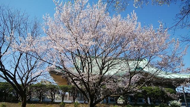 總持寺江戸彼岸桜