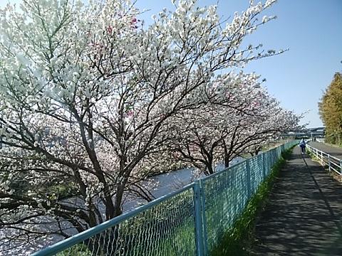 天神橋付近大島桜並木