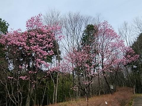 都筑中央公園横浜緋桜