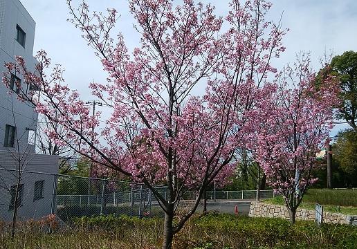夢見ヶ崎公園横浜緋桜