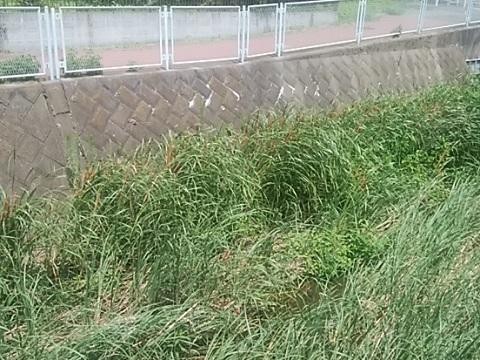 砂田川のガマの穂