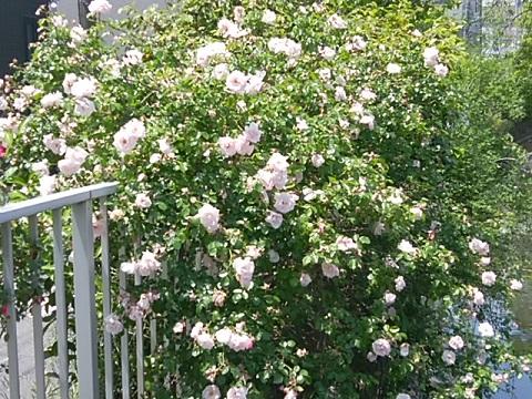二ヶ領用水上小田中6丁目のバラ
