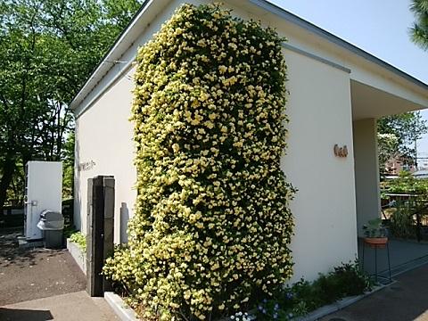緑化センターのモッコウバラ