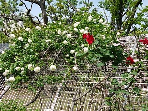 反町公園のバラ
