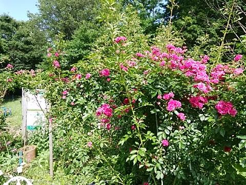 うさぎ山公園のバラ