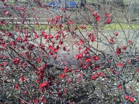 馬場花木園木瓜