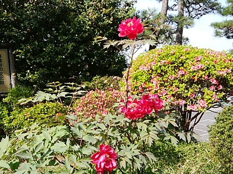 壽福寺の牡丹