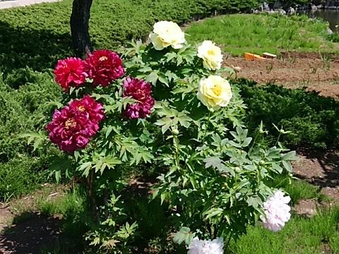 馬場花木園の芍薬