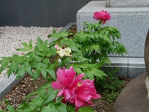 能満寺の牡丹