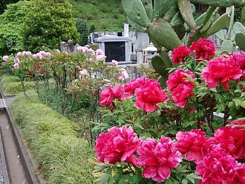 正覚寺の牡丹