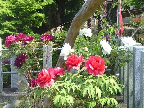 増福寺の牡丹